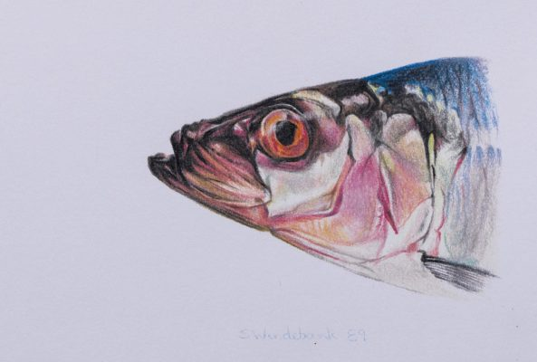 Herring. A colour study drawn from life.