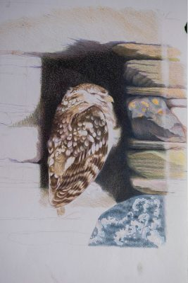 Little owl, resting in the tiny window space of an old stone barn.