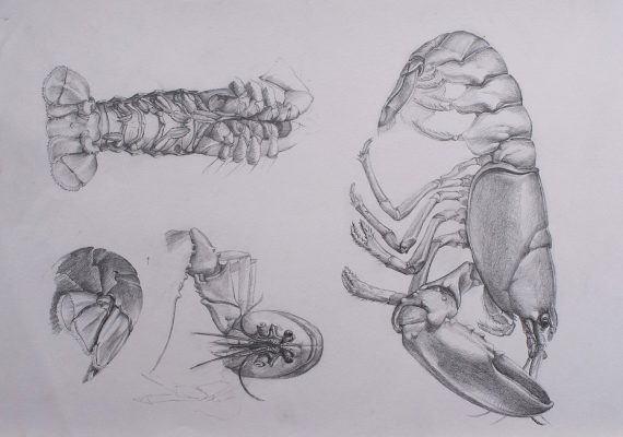 lobster. A detailed reference drawing showing the animal's construction , shape and character.
