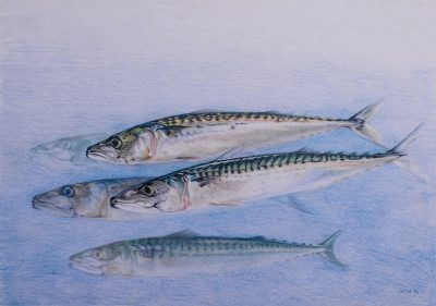 Mackerel shoal. A study of 5 fish fading into the blue background