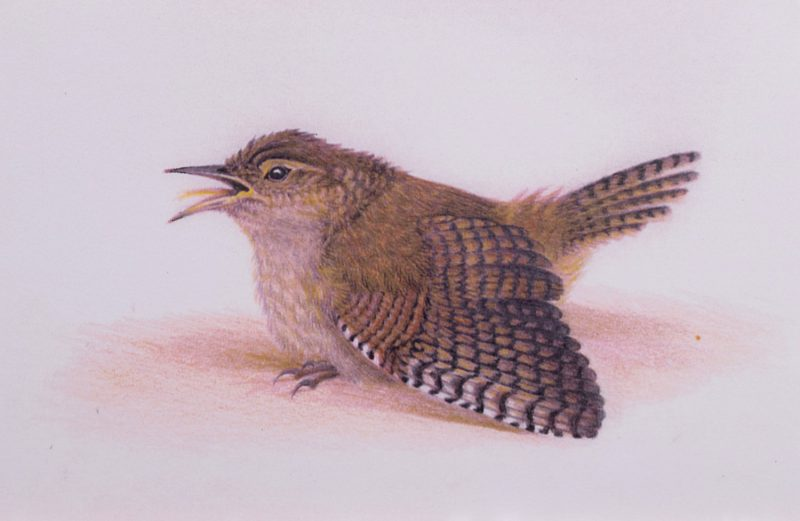 Wren sunbathing. Crouched on the ground with feathers spread, she basks in the heat.